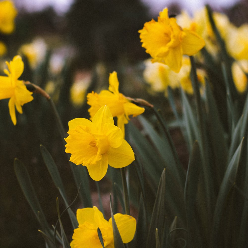 March Daffodils Image