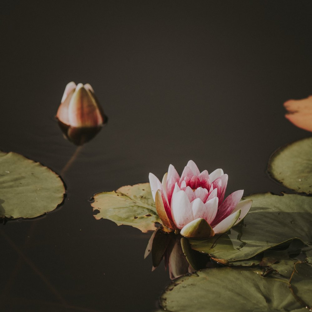 July Water-Lily Image