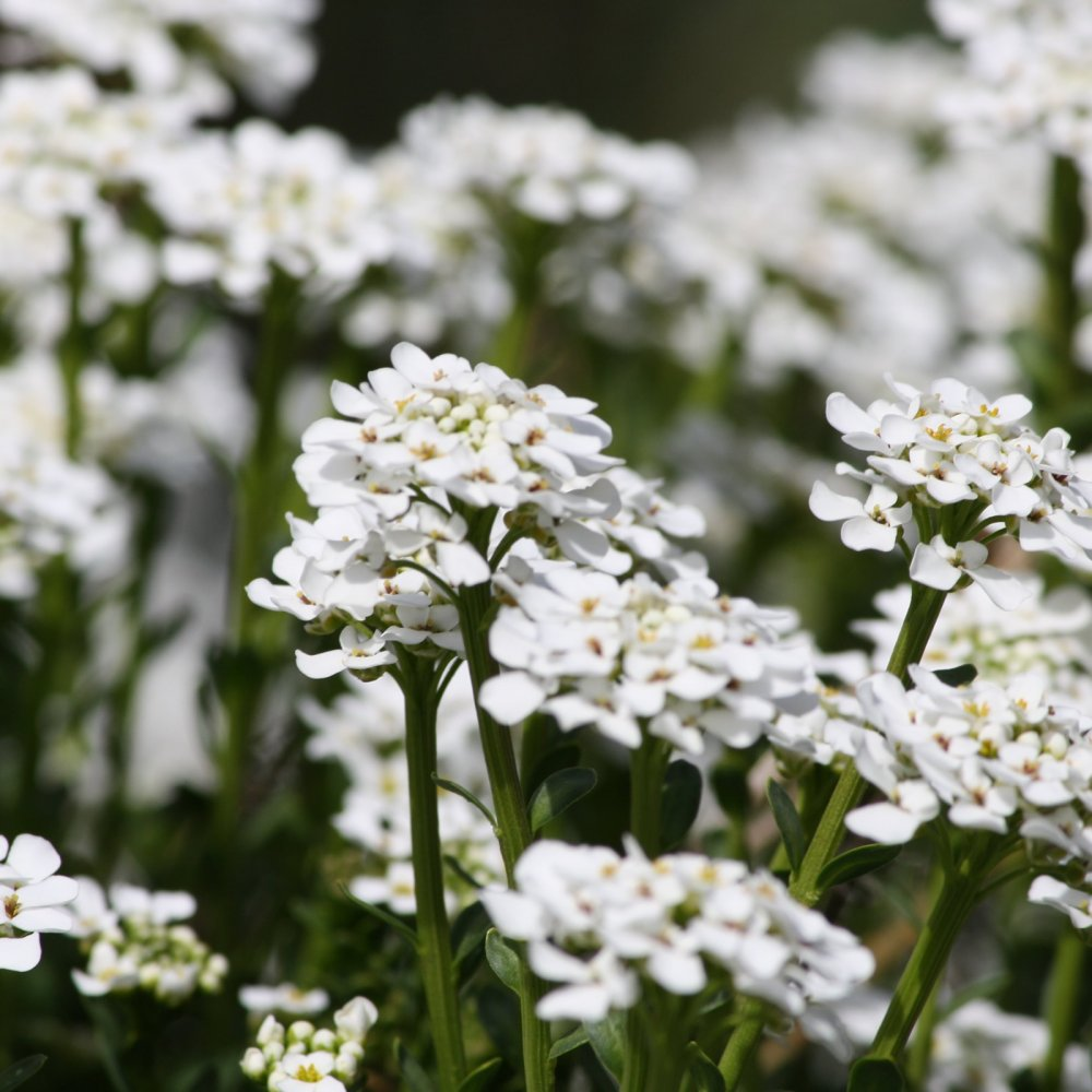 September Sweet Alyssum Image
